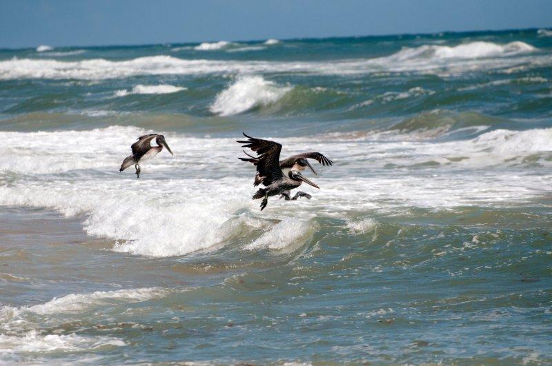 pelican_dance_fr