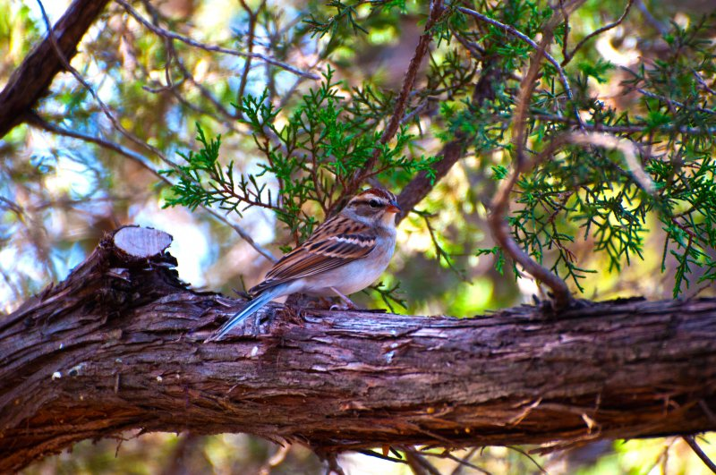 chipping-sparrow_fr